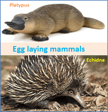 Image Platypus and Echidna