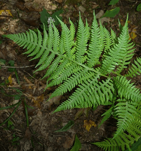 Image the long leave ferns