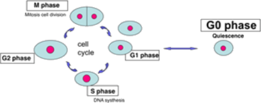 Image shows the stage of cell cycle