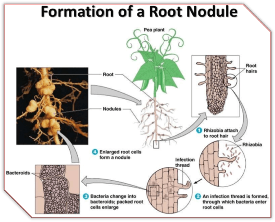 Image of the formation of a root nodule