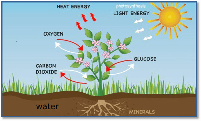 Image of the process of photosynthesis