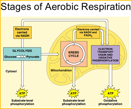 The major steps in aerobic respiration