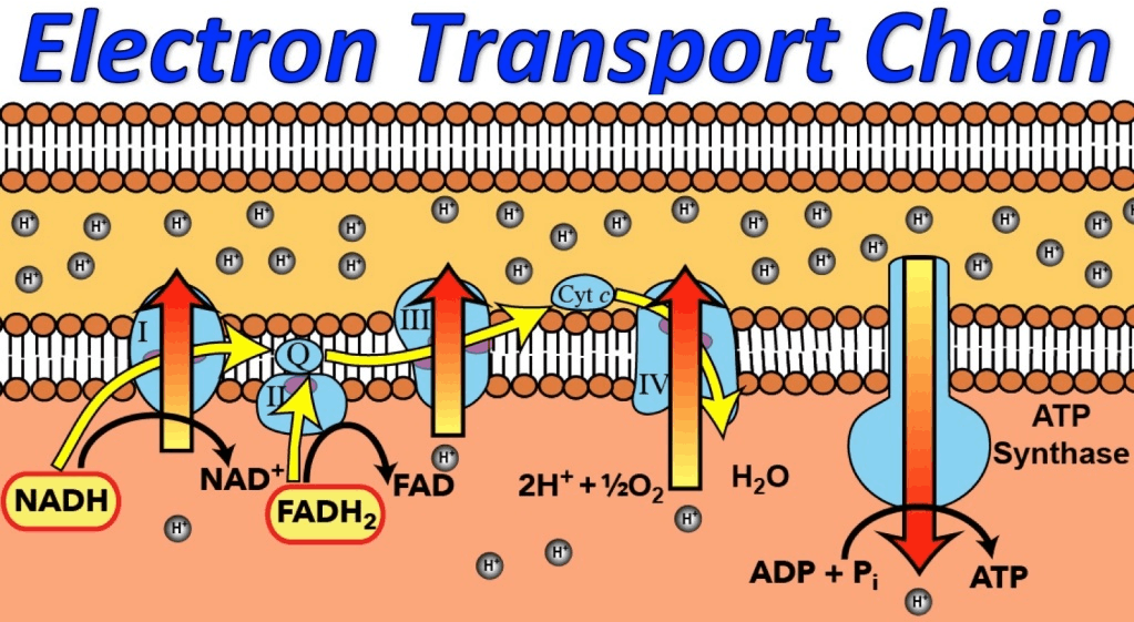 Electron transport system in image