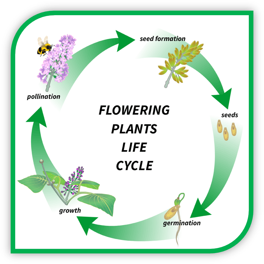 Image of flowering plants life cycle