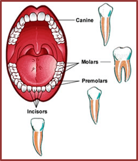 Image of four different types of teeth