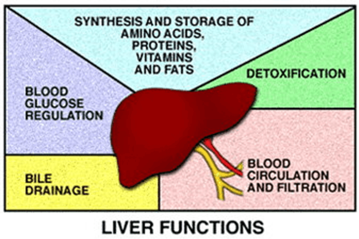 Image of the functions of liver