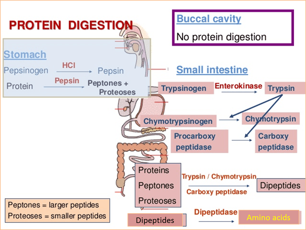 Image shows the protein digestion