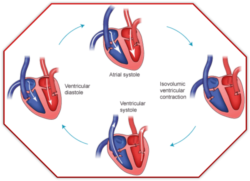 Image shows the cardiac cycle
