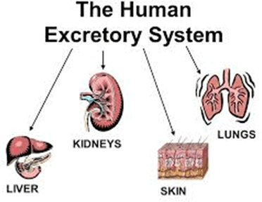 Image of the human excretory system