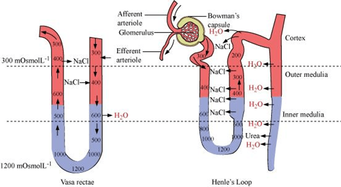 Q 4 Image of Vasa Rectae and Henle's Loop
