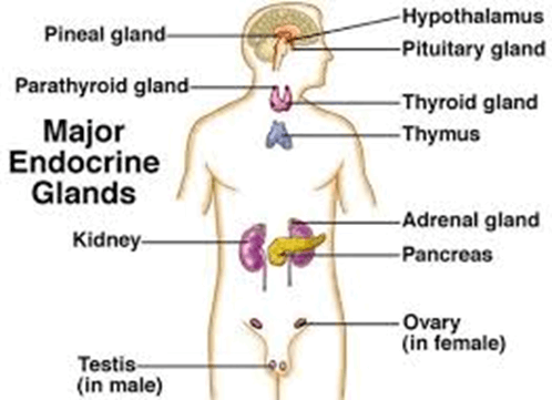 The location of various endocrine glands in the human body