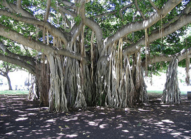 Image shows the banyan tree