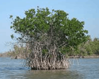 The roots of mangrove tree