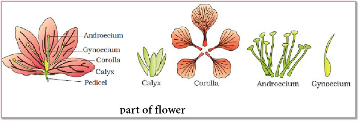 Image shows the Parts of Flowers