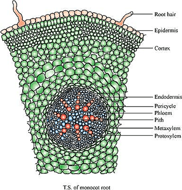 Q 4 A 1 Image of Monocot Root