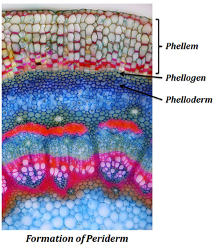 Image of the formation of periderm