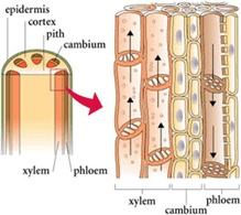 Image shows the xylem and phloem