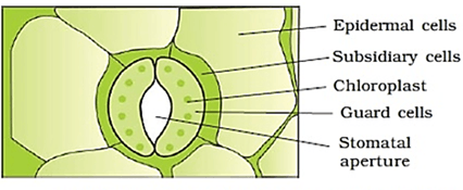 Q 8 Image of Stomata with Labelled Diagram