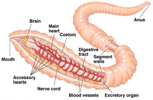 Image of the circulatory system of earthworm