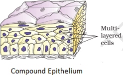 Image shows the Compound Epithelium
