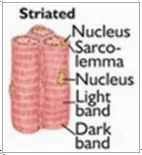 Image shows the striated muscles