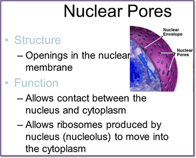Image shows the function of nuclear pole