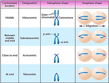The basis of classification of chromosomes.
