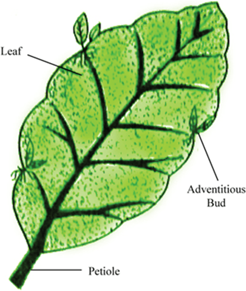 Image of Leaf buds of Bryophyllum