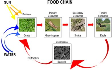 Image of Food Chain