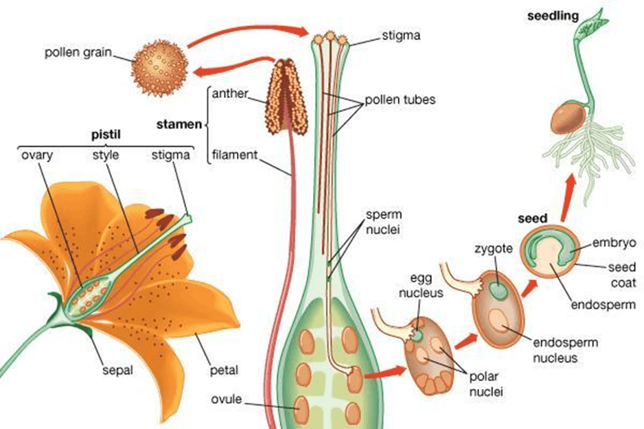 Image of Process of Fertilization or Seed Formation
