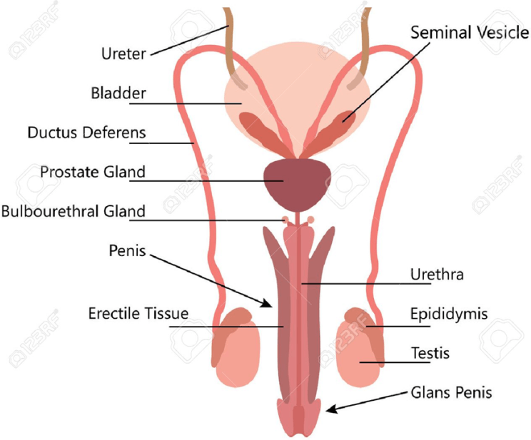 Image of Male Reproductive System