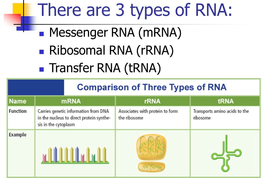 Q 25 Types Of RNA Found In The Cell
