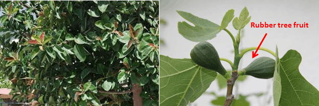 Tropical Evergreen and Rubber fruit