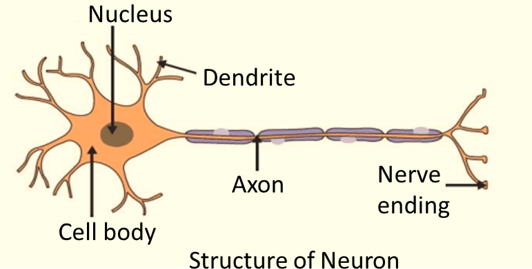 Result for structure of a neuron