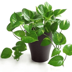 Image shows the money plant