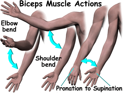Picture shows the muscles pulls the bones during movement