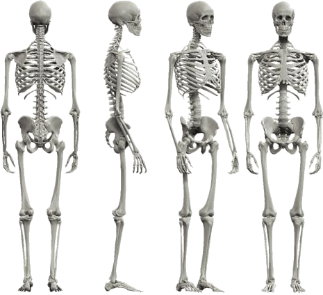 As showing in images is a result for skeleton of the body