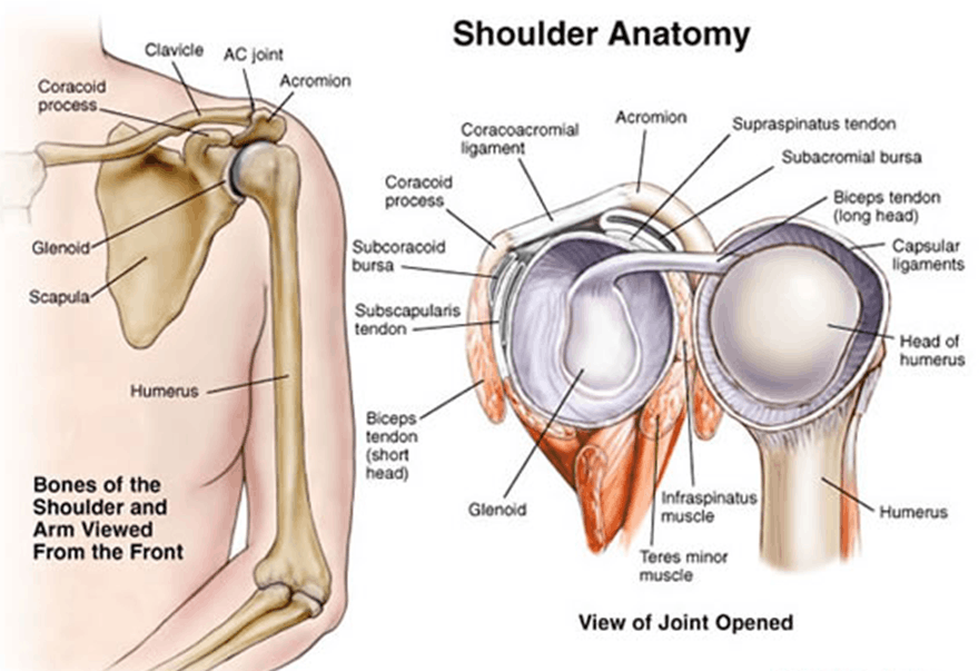 As showing in images is a shoulder anatomy
