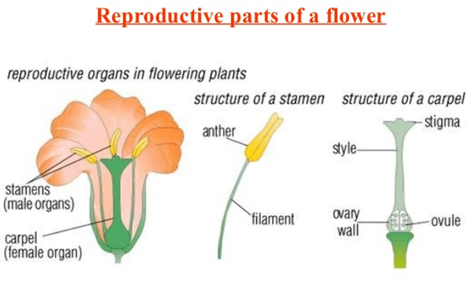 This image shows the reproductive parts of a flower