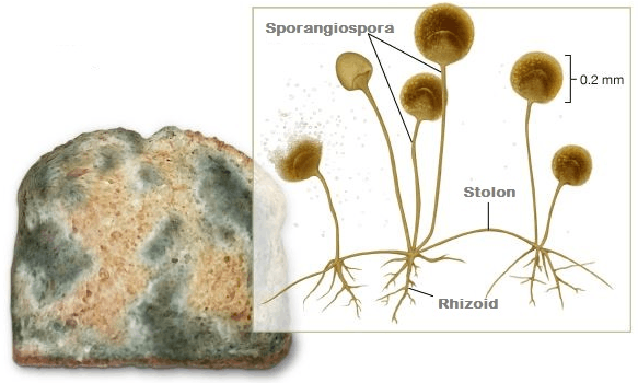 This image show bread mound that producing spore