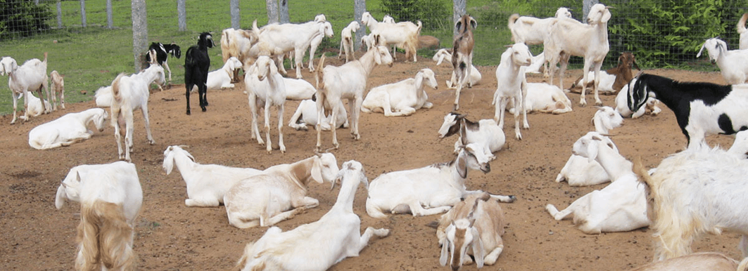 This image shows rearing goats