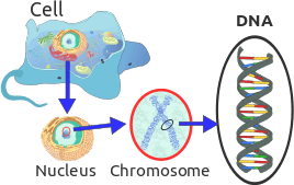 This diagram shows Chromosomes found in a cell