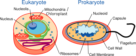 As showing in image is a Eukaryote and Prokaryote
