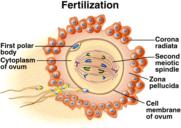 Result for process of fertilization in human