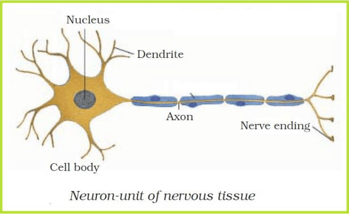NCERT Class 9 Science Solutions: Chapter 6 - Tissues Part ...