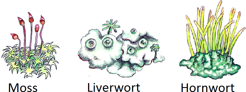 Image showing examples of bryophytes; moss, liverwort and hornwort.