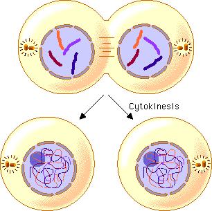 Image showing Cytokinesis plant cells.