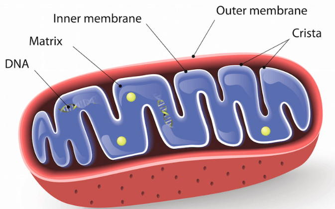 Image showing Mitochondrion structure.