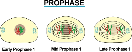 Image showing prophase phases.