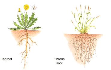Image showing main two types of root systems are the fibrous …